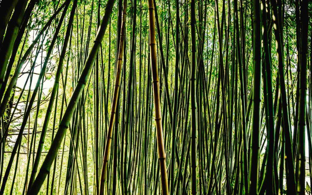 Jungla de bambú
